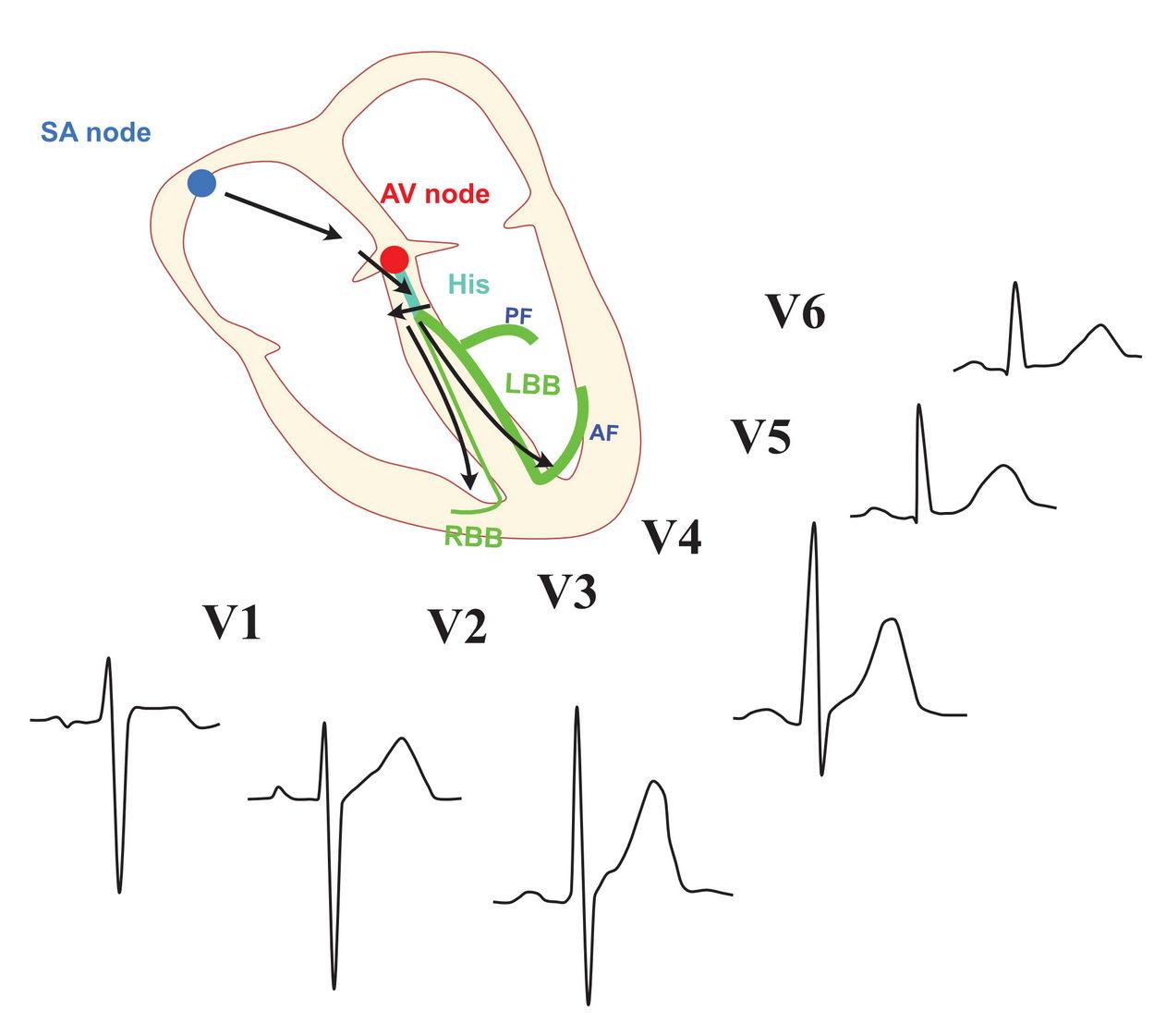 Genesis of the normal ECG - precordial lead activation pattern