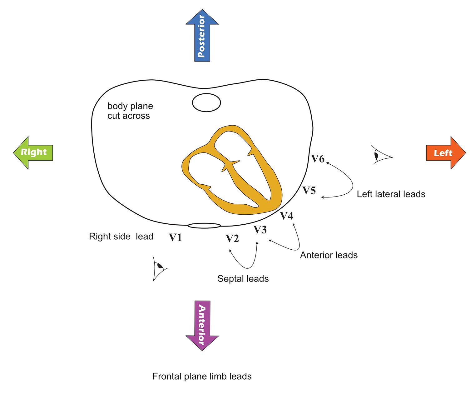 ECG - precordial leads